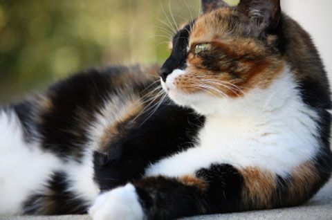 images of unusal cats   ... petplan pet insurance examines the curious case of a male calico cat