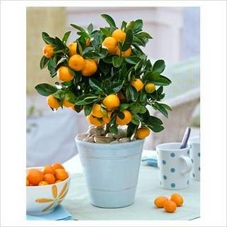 Growing an indoor orange tree