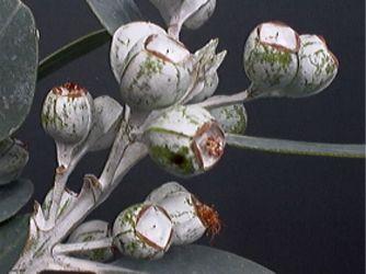 eucalyptus tetragona nuts