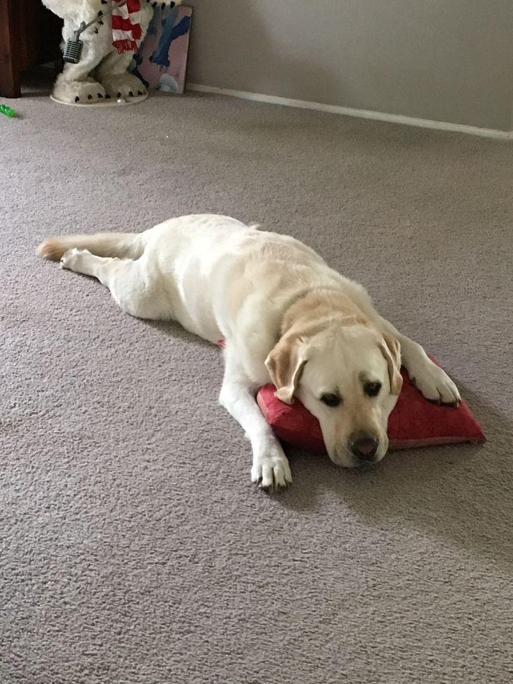 Bello, the Labrador
