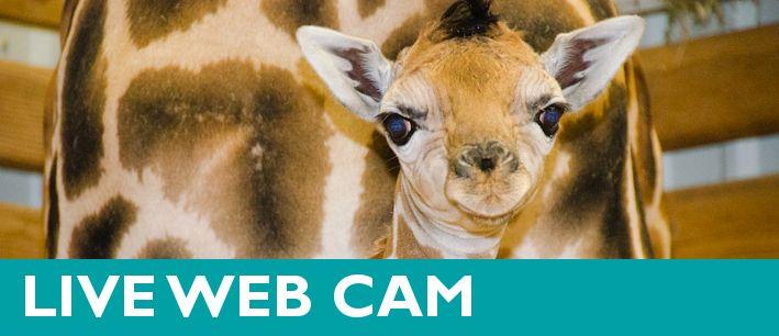 Giraffe Barn Cam  Woodland Park Zoo Seattle WA