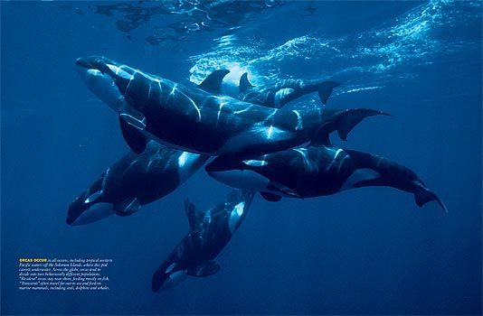 Orcas are pack animals that live in pods to assist in ...