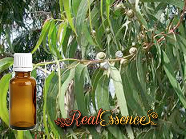 EUCALYPTUS Essential oil 100% Pure and natural essential oil 10 ml amber bottle