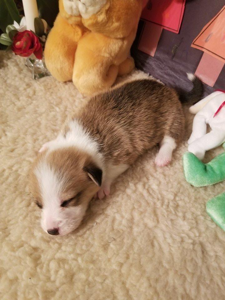 Little Tiny Corgi Puppy Eyes Aren T Even Open Yet Corgi Puppy