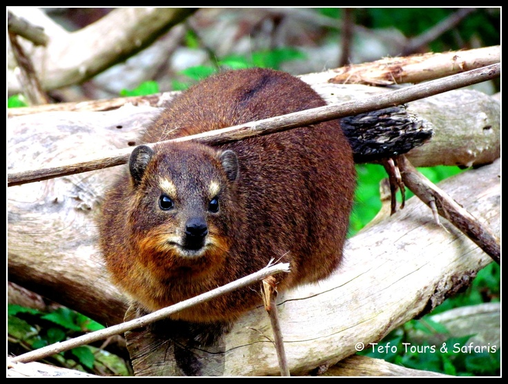 #Dassie - #Garden Route - South Africa  #Tsitsikamma National Park - Storms River Mouth