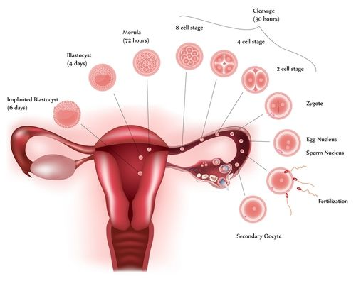 Image result for What Occurs In The Menstrual Cycle?
