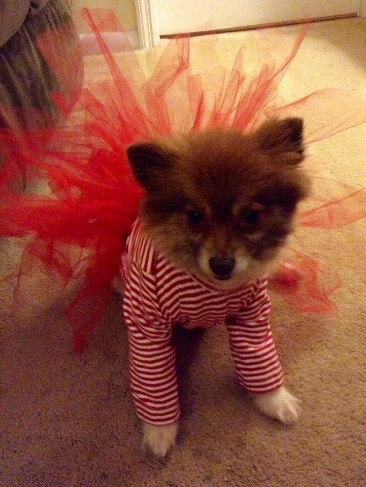 pomeranian outfits 486 best images about pomeranians on pinterest toy 9873