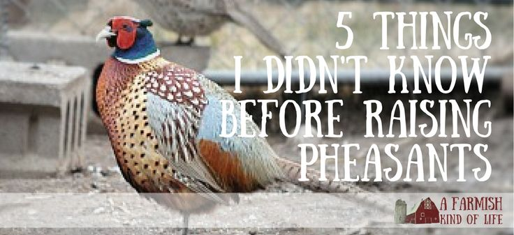 Interested in raising pheasants? Here are five things we didn't know about pheasants before we actually started raising them.