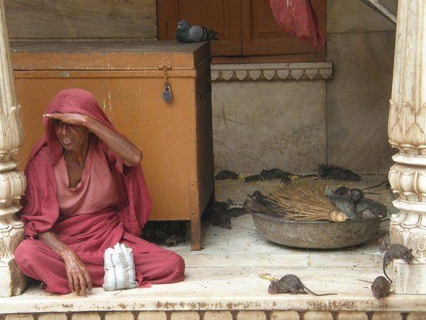 Templo de las ratas - India 2008
