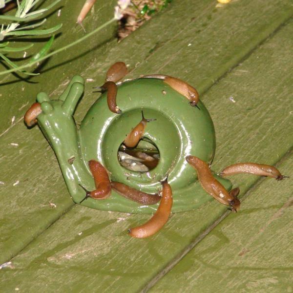 Slakkenval kopen om slakken te bestrijden met slakkenkorrels of met bier.
