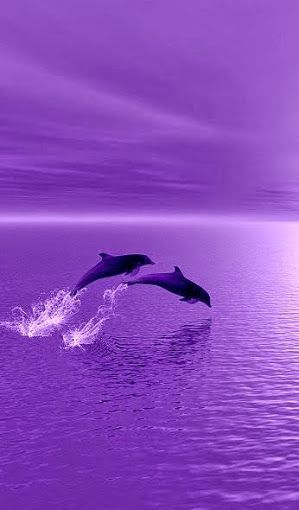 Dolphins surfing in purple sunset!
