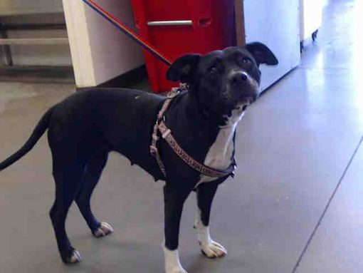 Phoenix Az American Staffordshire Terrier Meet A Dog For Adoption With Images American Staffordshire Terrier Pets Animal Shelter