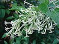 Cestrum nocturnum - AKA Night-Blooming Jasmine