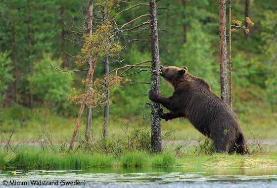 # Bear # Attraction # Kuhmo