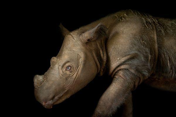 Sumatran Rhinoceros -  Photograph by Joel Sartore
