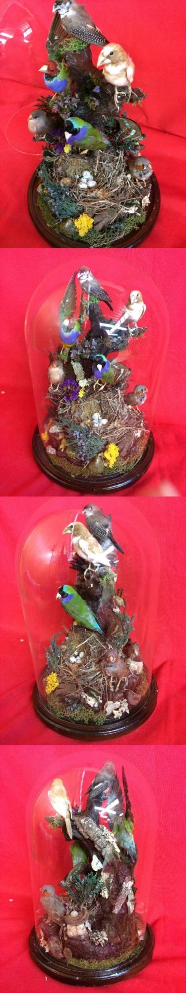 Birds 71123: Sale*Taxidermy Antique Victorian Style 6 Finch Large Glass Dome Display Bird -> BUY IT NOW ONLY: $519.99 on eBay!