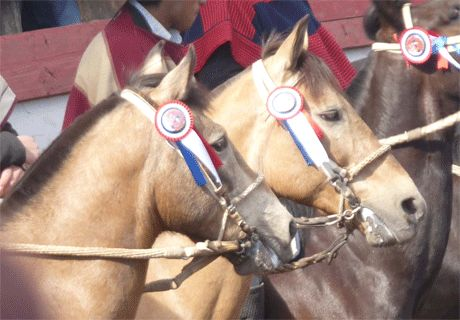 Our lovely horses winning a rodeo in Chile. Ride then with us: www.horseridingchile.com