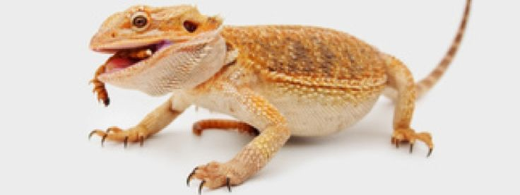 What do bearded dragons eat? Learn what bearded dragons eat and what is best for their diet when being kept as a pet.