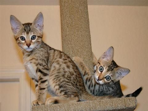 savannah kittens for sale | ... - Fabulous Female and Male Savannah Kitten Available - Pets for Sale