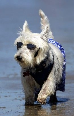 Joey, a West Highland terrier, appears at the Surf City Surf Dog competition.