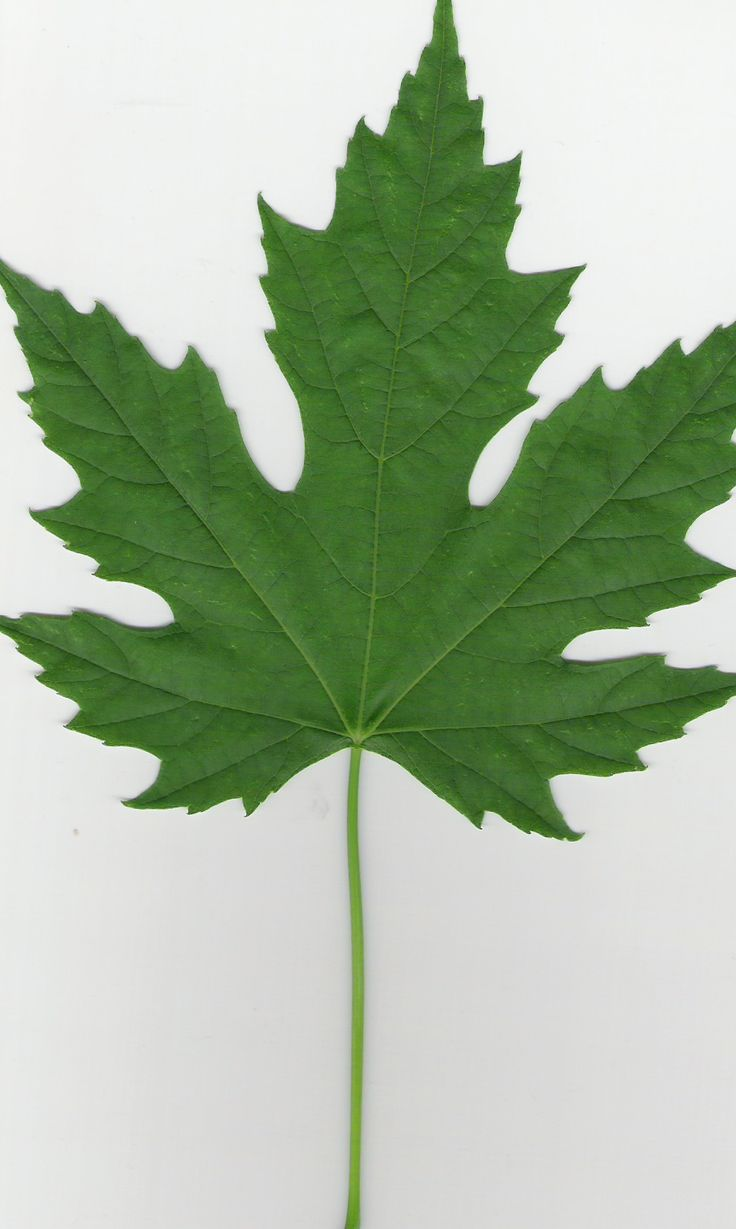 Maple Leaf Pathway Beautiful: Trees- Identification Flashcards By ProProfs