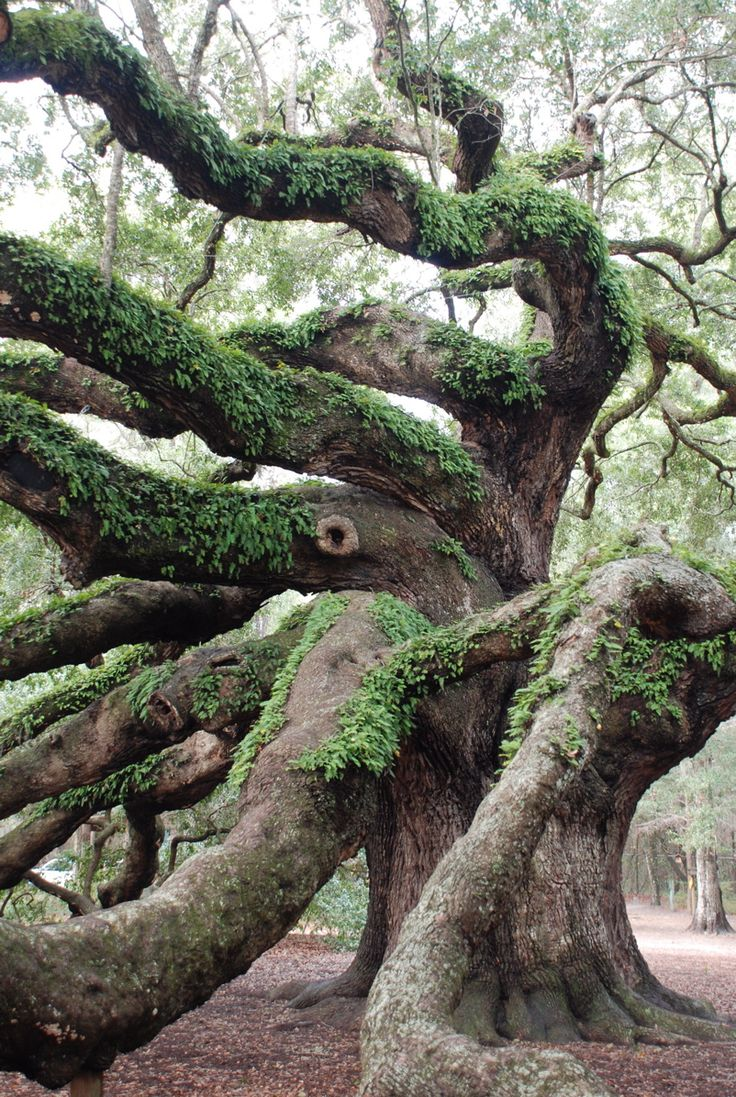 angel oak - charleston / anne pinckney   - Explore the World, one Country at a Time. http://TravelNerdNici.com                                                                                                                                                      More
