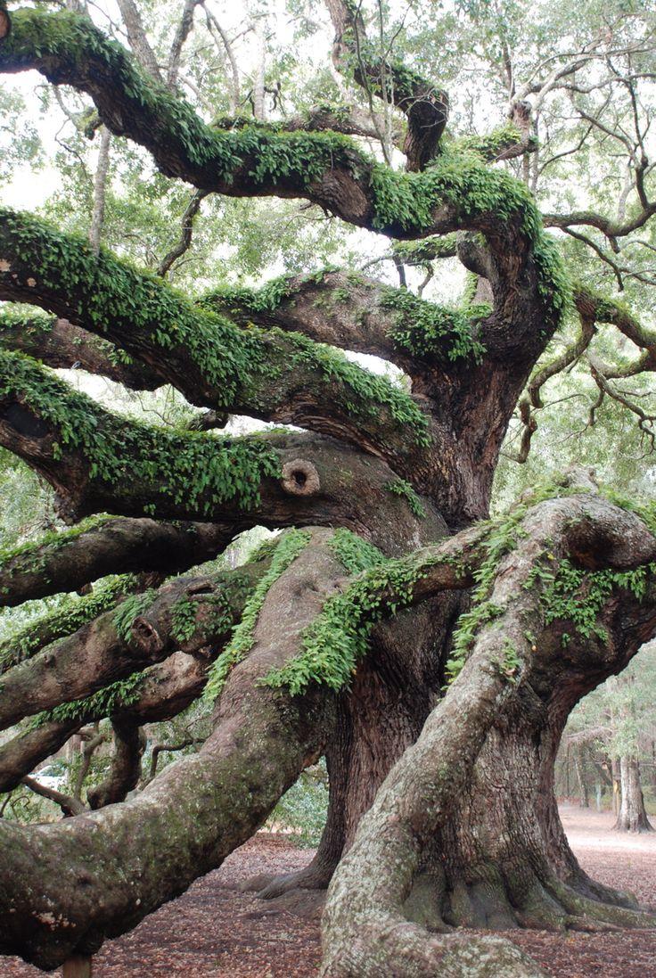 Angel Oak outside Charleston, SC; photo by Anne Pinckney