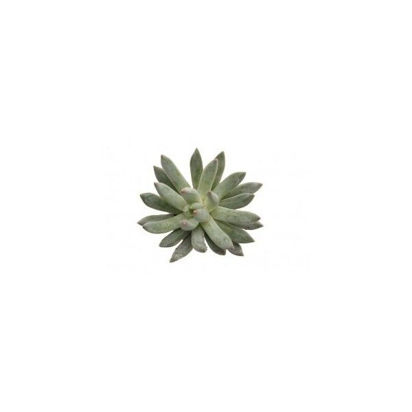 Succulents Flower Muse (€140) ❤ liked on Polyvore featuring home, home decor, floral decor, fillers, plants, fillers - green, flower arrangement, flower home decor, green home decor and floral centerpieces
