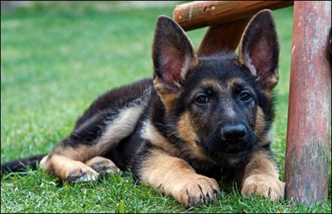 german shepherd, ears and paws, what more is there to say about this cutie.