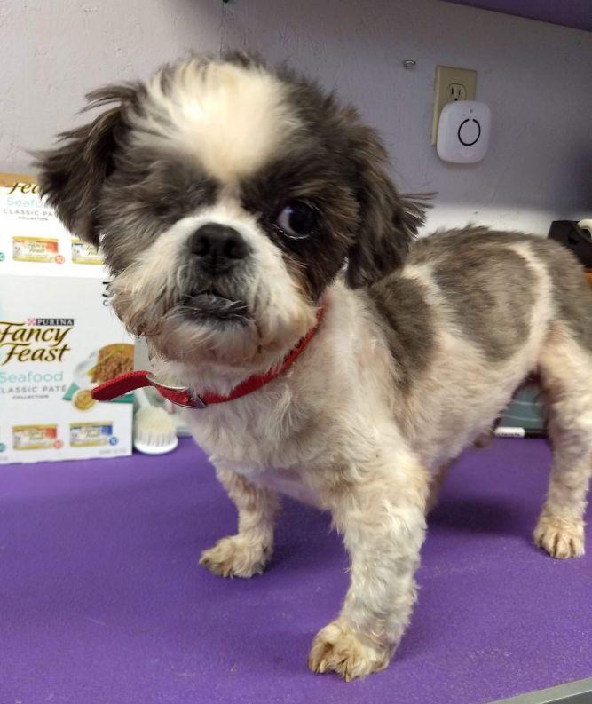Dog For Adoption Mr Peterson A Shih Tzu In Springfield Oh Petfinder Shihtzu Homeless Pets Dog Adoption Shih Tzu