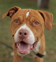 Best 25 Boxer Mastiff Mix Ideas On Pinterest Pitbull