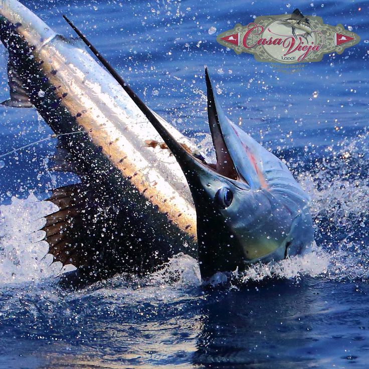 Sailfish, Charter Boat, Fishing Lodge, Pacific Ocean, Offshore