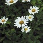 Detailed tips on dividing shasta daisies