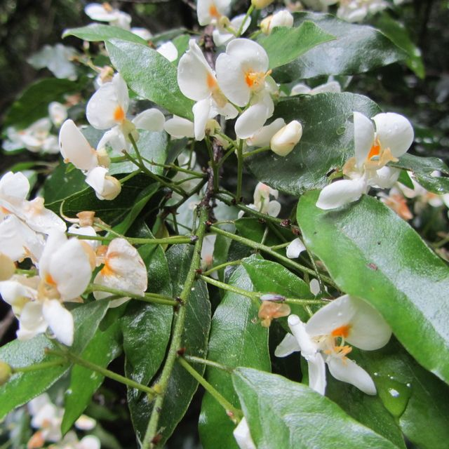 Baphia Racemosa    flowers       Natal Camwood            Natalkamhout          3-5 m   (7-10)       S A no 224