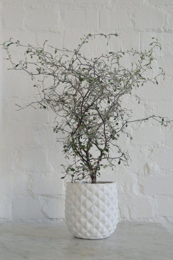 Zick zack   Pflanzen für innen, Topfpflanzen terrasse und ...