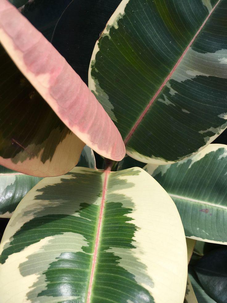 Atmosphy Green Wall & Indoor Plant Ficus - Tineke www.atmosphy.com. au #atmosphy #indoorplants #plants #officedesign #officeplants