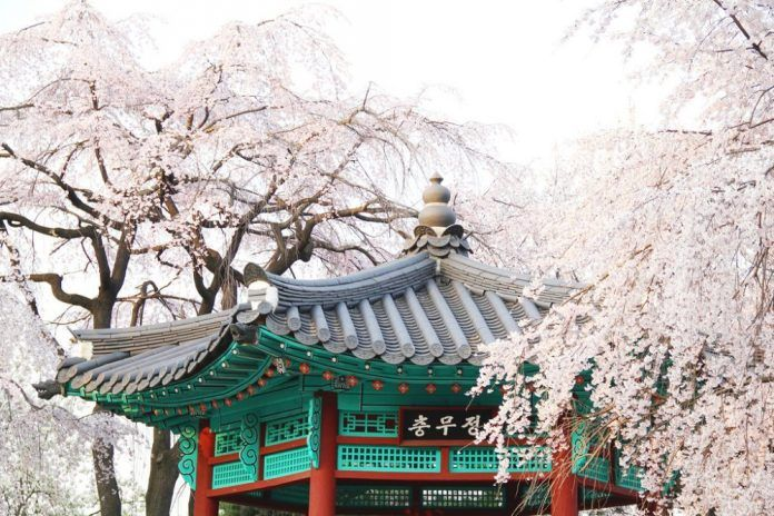 Korea Cherry Blossom 2020 Forecast The Best Time 9 Best Places To See Cherry Blossoms In Korea Living Nomads Travel Tips Guides News Information Places To See Korea Travel Cherry Blossom