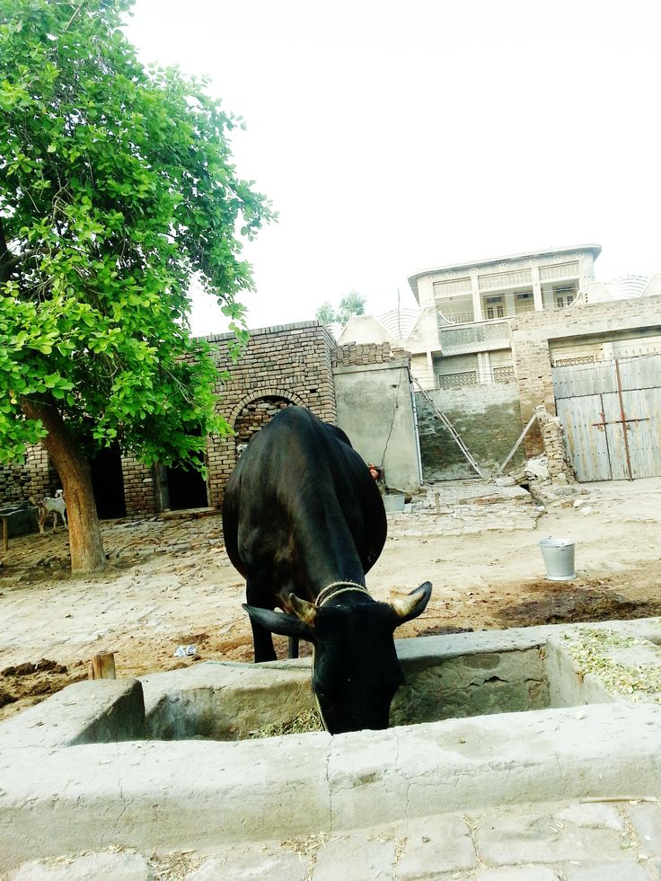 Cow munching away in my ancestral home. Photo credits: Khaqan Kundi