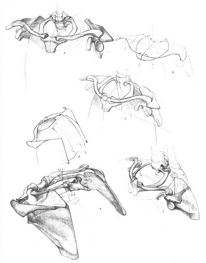33 best Bammes Gottfried images on Pinterest | Anatomy reference ...