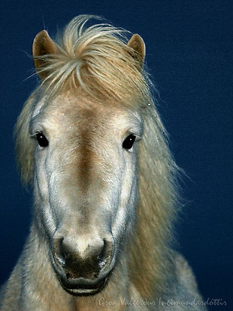 Icelandic Horse - interesting, not a single horse has been imported to Iceland since the year 1000