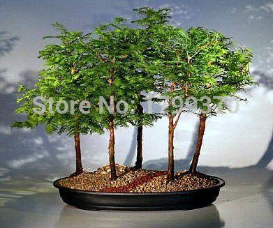 Bonsai seeds 50pcs Dawn Redwood Bonsai Tree Grove - Metasequoia glyptostroboides,DIY home gardening! Very easy to grow #Affiliate