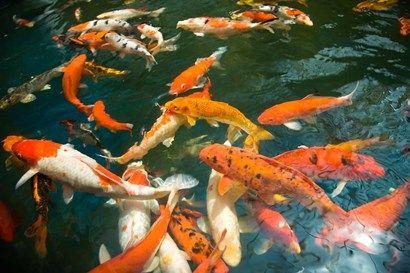 Ornament Koi or Common Carp, Shopping Mall Pond, Malacca, Historic Melaka, Malaysia Peninsula, Malaysia, SE Asia