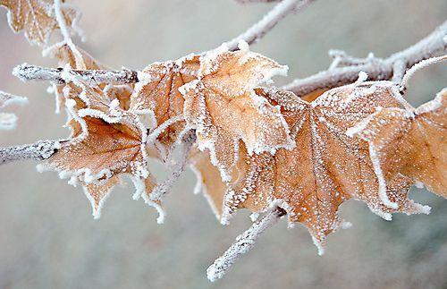 Frozen Leaves - dsmpson - flickr