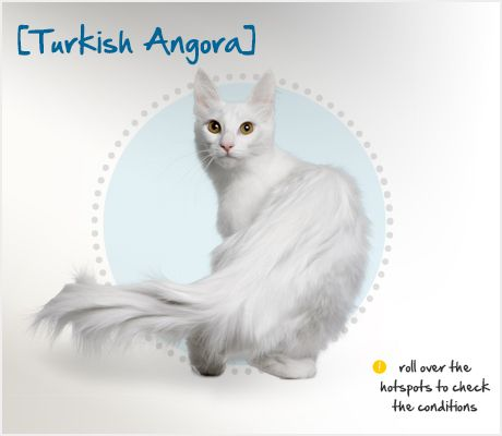 The Turkish Angora is an ancient breed of cat that traces her development back to 14th century Turkey, where she developed an unusually soft, medium-length coat for protection against the harsh winters. She is believed to be the originator of the genetic mutations for long hair and for the dominant all-white coat.
