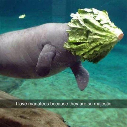 I LOVE manatees!!!  Too funny