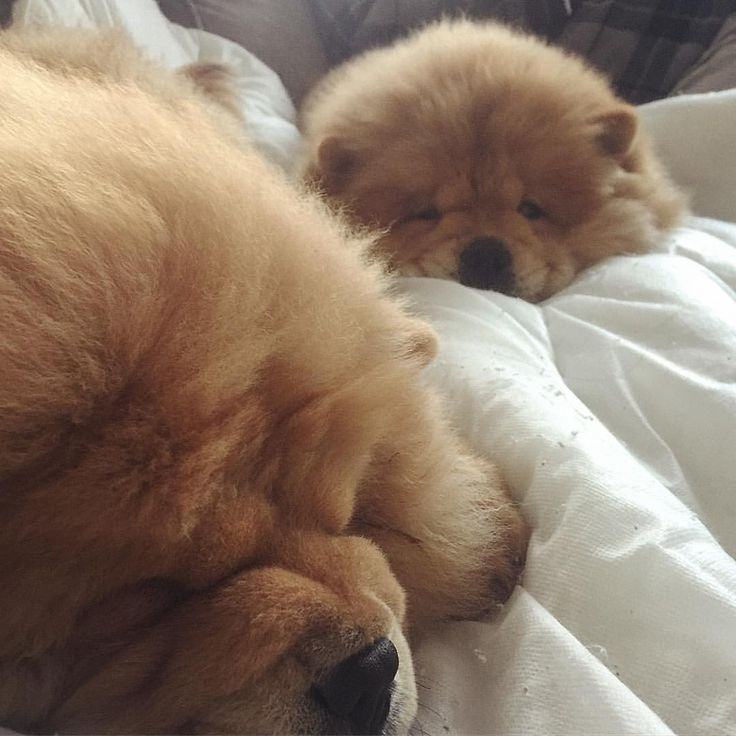 Amazing Chow Chow Chubby Adorable Dog - 59b33aac4aae50f16262c8c255c7a5fa--cutest-pets-cutest-animals  Collection_227997  .jpg