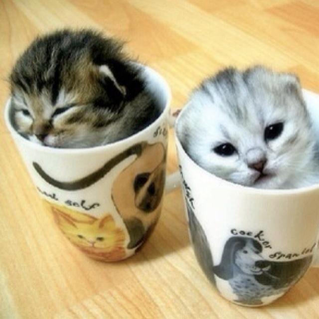 Two cuties... Mwaah <3Cat, Animal Pictures, Teas Cups, Coffe Cups, Teacups Kittens, Coffee Cups, Cute Animals, Tea Cups, Cute Kittens