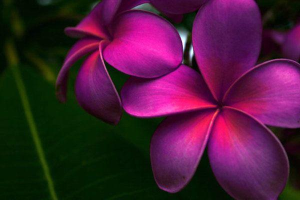 Purple Plumeria's <3 So beautiful