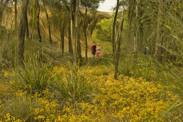 Flowering wattle puts the 'golden' in Golden Outback