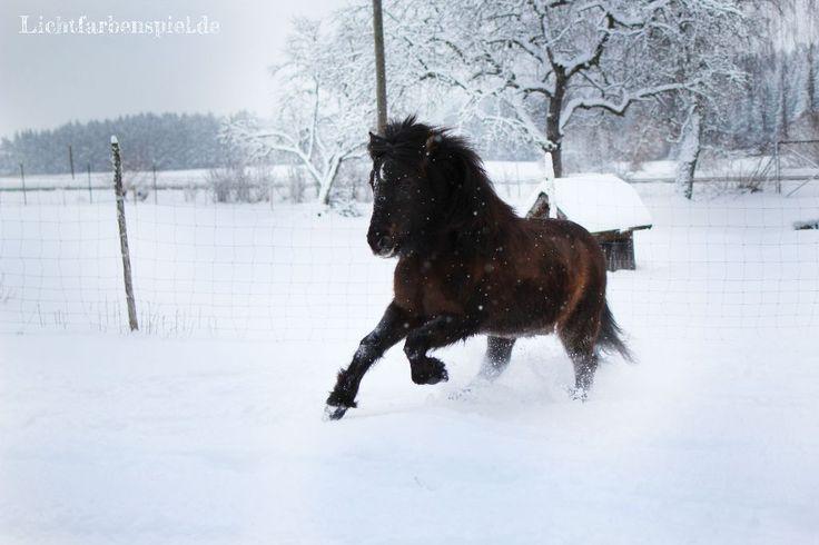 Schneespaß  Islandpferd Rappe Isi Pferd Mausfalbe Lettir
